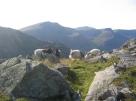 Mountain goats rutting on tryfan