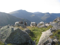 Mountain goats rutting on tryfan