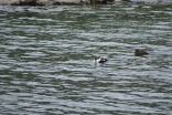 Eider ducks swim in the harbour, prehaps visitng from nearby Farne Island
