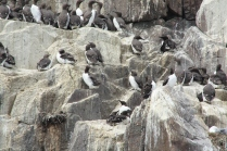 It only takes 60 days for a guillemot chick to hatch and grow a stage capable of flight