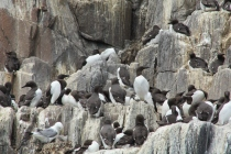 Like most sea-faring birds, guillemots spend most of their lives at sea, only coming to land when it is time to breed