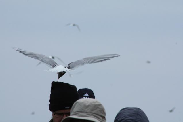 Clear tern brutality here