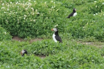 PUFFINS!!! :D