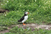 However cruiously puffins don't keep their beak, they actually moult