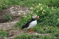 Puffin chicks are called pufflings
