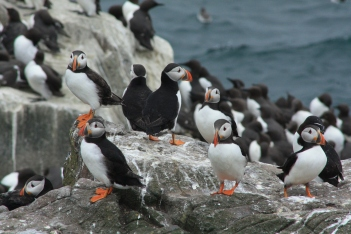 Puffins are true sea birds, this nesting period is the only time they will spend on land