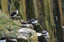 Interestingly it seems that the Razorbills only inhabitat the highest parts of the cliff while the kittiwakes nest further down