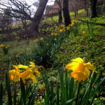 Bangor's daffoidis in commemoration of St David's Day