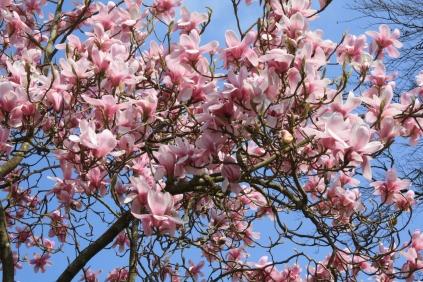 Magnolia x loebneri